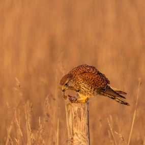 Kestrel breakfast