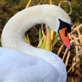 Swan's-Bill