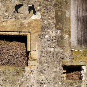 Jackdaws nest in Donnington Castle, Spring 2020